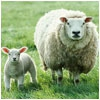Sheep standing next to lamb in green field